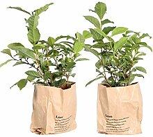 Tee-Baum | exotische Pflanze | 2 Pflanzen |