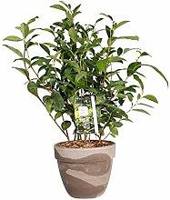 Tee-Baum | exotische Pflanze | Zimmerpflanze |