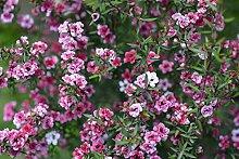 Teebaum 30 Samen, Südsee-Myrte, (Leptospermum