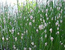 Teichbinse (Schoenoplectus lacustris) Teichpflanze Teichpflanzen Teich