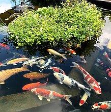 Teichpflanzen Schwimmpflanzen für