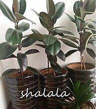 TEN-G 50 / Pack Rare Bonsai Ficus Elastica Decora