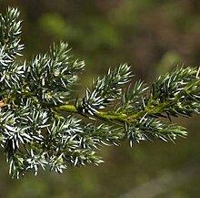 Teppichwacholder Holger 30-40cm - Juniperus