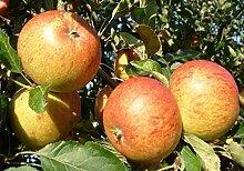 Terassenobstbaum Apfelbaum Malus dom. Cox Orange