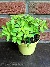 Thai Basilikum โหระพา BAi Horapa Kräuter Pflanze 3stk.