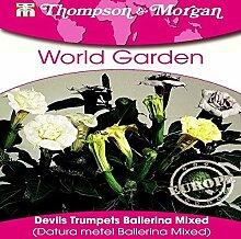 Thompson & Morgan AGWG07047 Engelstrompete