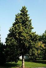 Thuja Abendländischer Lebensbaum Hecke Wurzelware