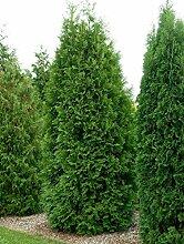 Thuja Brabant Occidentalis - Lebensbaum winterhart