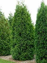 Thuja Brabant Occidentalis - Lebensbaum winterhart