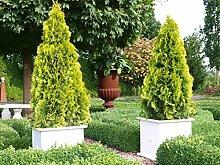 Thuja Golden Smaragd Occidentalis - Lebensbaum