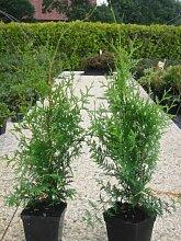 Thuja Lebensbaum Brabant 30-35 cm 70 St. Hecke Heckenpflanze