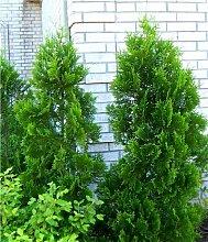 Thuja Lebensbaum Brabant 50-60 cm 150 St. Hecke Heckenpflanze Topfballen