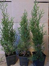 Thuja Lebensbaum Smaragd Topfballen 30-35 cm 25