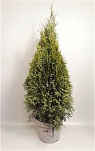 Thuja occidentalis Smaragd 100-120 cm SMARAGD