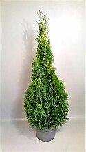 Thuja occidentalis Smaragd 120-140 cm SMARAGD
