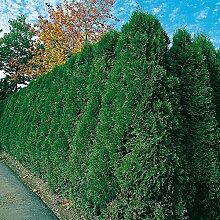 Thuja Smaragd Occidentalis - Lebensbaum winterhart