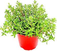 Thymian Pflanze, Thymus vulgaris Kräuter Pflanzen