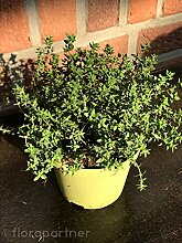 Thymian Pflanze , Thymus vulgaris Kräuter Pflanzen 4stk.