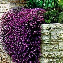 Thymian Samen Premium Flower Viewing Pflanze