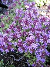 Thymus serpyllum Coccineus - Teppich-Thymian -