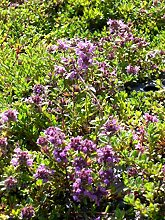 Thymus serpyllum Magic Carpet - Garten-Thymian, 50