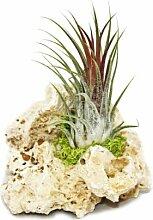 Tillandsien auf Sansibar-Rock - S - 1 Pflanze