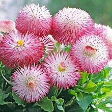 Tinement Samen - 50 stücke Chrysantheme Samen
