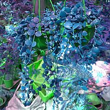 Tiowea Seltene Ivy Blumensamen Garten Topf