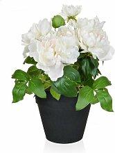 Tischpflanze Pfingstrose im Topf Die Saisontruhe