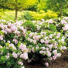 TOM-GARTEN, Heckenpflanzen, Großer Rhododendron 'Bloombux ', 1 Pflanze, 25-30 cm/22 cm Topf, wunderschöne rosa Blüten im Juni