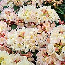 TOM-GARTEN, Immergrüne Ziergehölze, Rhododendron 'Golden Torch', 1 Pflanze, 20-30 cm Höhe, beeindruckende Blüten