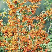 TOM-GARTEN Immergrüner Feuerdorn 'Orange