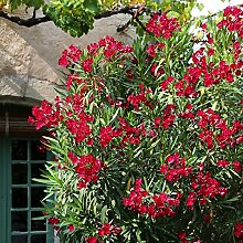 TOM-GARTEN, Kübelpflanzen, Oleander - rot, 1