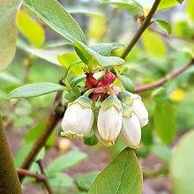 TOM-GARTEN, Obstpflanzen, Gartenheidelbeere