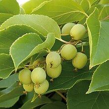 TOM-GARTEN, Obstpflanzen, Kiwi 'Issai ', 1 Pflanze, 17 cm Topf mit 2 L Volumen, selbstfruchtend