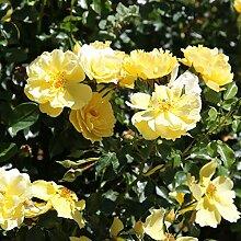 TOM-GARTEN, Rosenpflanzen, Bodendeckerrose