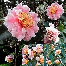 Tomasa Gartensamen- Kameliensamen Blumensamen