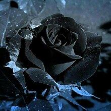 Tomasa Rosen Blumensamen,50Stk entzückende Blumen
