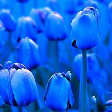 Tomasa Samenhaus- 100 Stück Tulpe Blumensamen