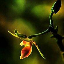 Tomasa Samenhaus- 20 Stücke ini Orchidee Samen
