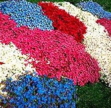 Tomasa Samenhaus- Bodendecker Steinkraut Blumen
