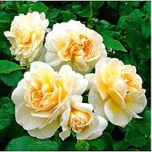 Tomasa Samenhaus- Bunte Rose Samen winterhart