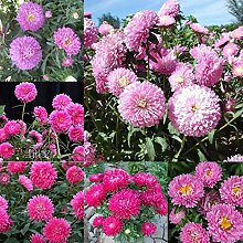 Tomasa Samenhaus- Chrysantheme Samen Rarität