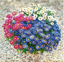 Tomasa Samenhaus- seltene Chrysantheme Blumensamen