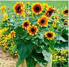 Tomasa Samenhaus- Sonnenblumen Samen Sonja Gelb