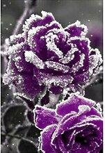 Tomasa- Schnee Rose Blumensamen Mehrjährige