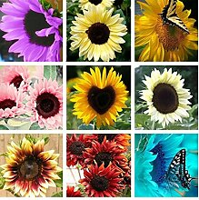 Tomasa Sonnenblumenkerne,Entzückende Blume