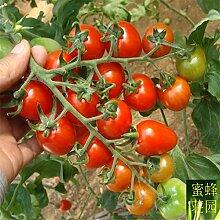 Top Fashion Direct Selling Sommer Landschaft Pflanze Ausgeschlossen Reguläre Samen Kleine Persimmon Tomaten von Santa Obst Über 100