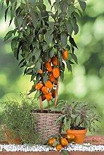 Topfpaprika, Paprika Pflanze, Blockpaprika Almira Midi Orange, Paprikapflanzen