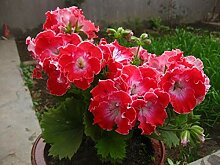 Topfpelargonie Graveolens Blume Blumensamen Garten